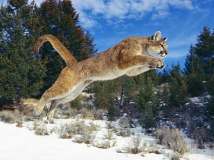 Raw Power Wallpaper Big Cats Animals
