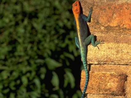 Red headed Rock Agama Wallpaper Other Animals