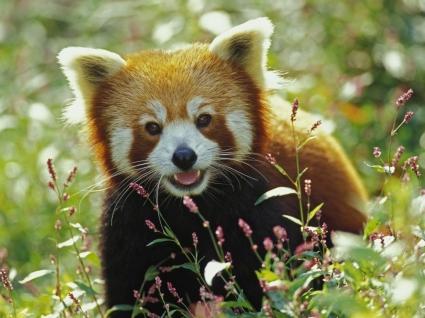Red Panda Wallpaper Bears Animals