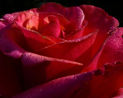 Red Roses 7