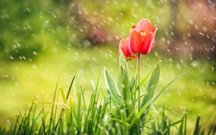 Red Tulip Rain
