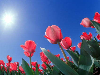 Red Tulips Ohio