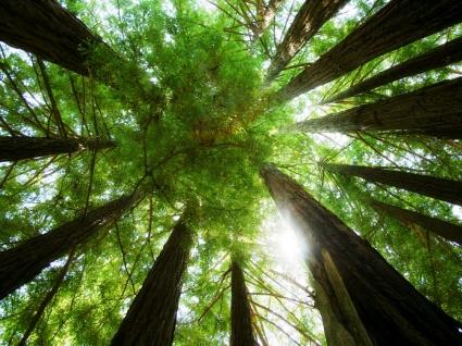 Ring of Redwoods Wallpaper Plants Nature