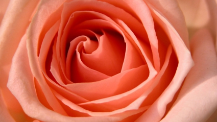 Rose HDTV 1080p
