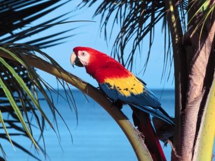 Scarlet Macaw Wallpaper Parrots Animals