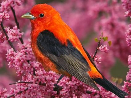 Scarlet Tanager Bird