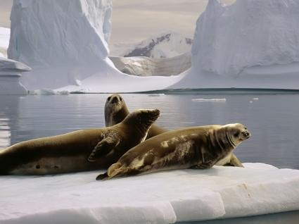 Seals Wallpaper Other Animals