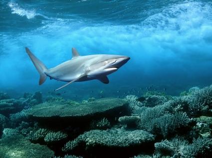 Shark Wallpaper Fish Animals