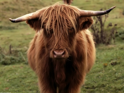 Shetland Cow Wallpaper Other Animals