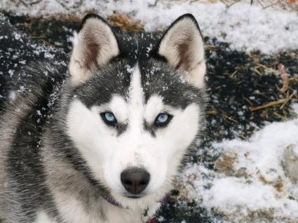 Siberian Husky Wallpaper Dogs Animals