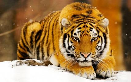 Siberian Snow Tiger
