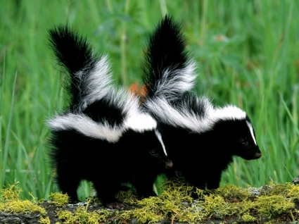 Skunk Babies Wallpaper Baby Animals Animals