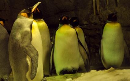 Sleeping Penguins
