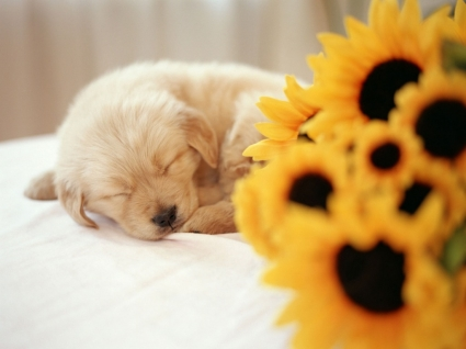 Sleeping Puppy Wallpaper Dogs Animals