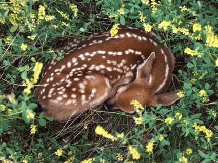 Sleeping Whitetail Fawn Wallpaper Baby Animals Animals
