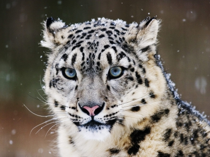 Snow Leopard Wallpapers in jpg format for free download