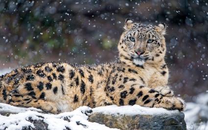 Snow Leopard 4K