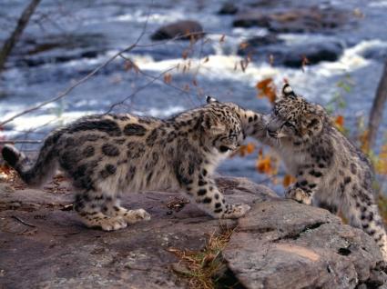 Snow Leopards Wallpaper Baby Animals Animals