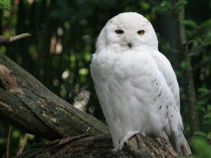 Snowy Owl Wallpaper Birds Animals