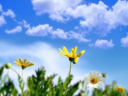Spring Daisy Wallpaper Spring Nature