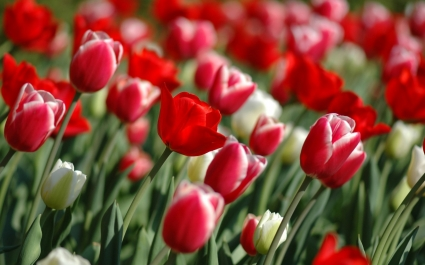 Spring Tulips Wallpaper Flowers Nature