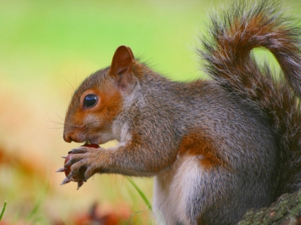 Squirrel eating conkers Wallpaper Squirrels Animals