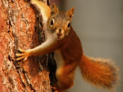 Squirrel Wallpaper Other Animals