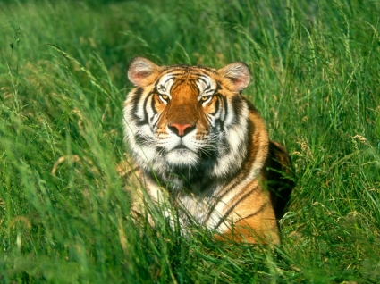 Sunbather Bengal Tiger Wallpaper Tigers Animals