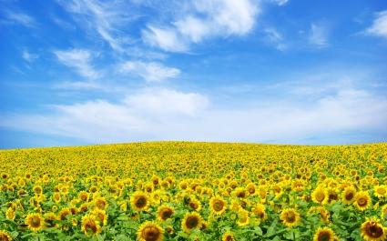 Sunflower Landscape