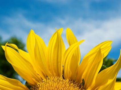 Sunflower petals Wallpaper Flowers Nature