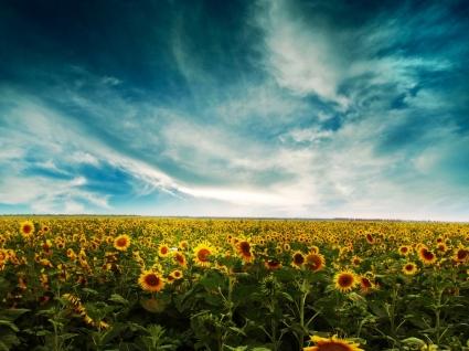 Sunflowers Land Wallpaper Flowers Nature