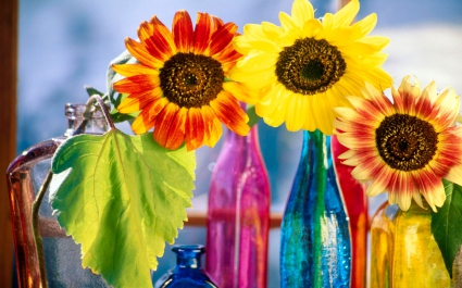 Sunflowers Variety