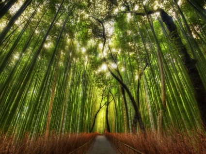 The Bamboo Forest Wallpaper High Dynamic Range Nature
