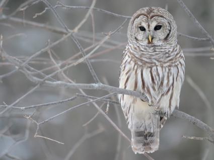 The Barred Owl Wallpaper Birds Animals