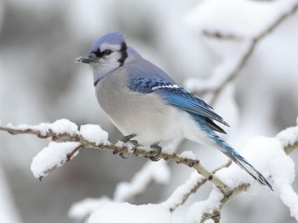 The Blue Jay Wallpaper Birds Animals