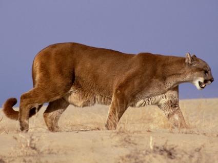 The Hunter Wallpaper Big Cats Animals