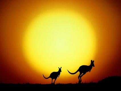 The Kangaroo Hop Wallpaper Australia World