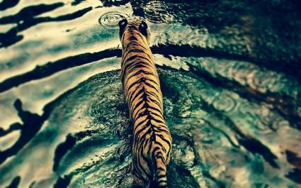 Tiger in Disney's Animal Kingdom