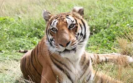 Tiger in Fields