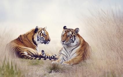 Tiger Pair 5K