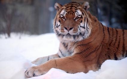 Tiger Snow Wide