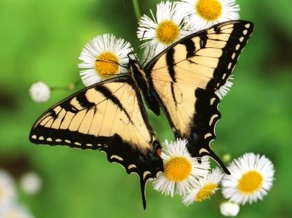 Tiger Swallowtail Butterfly Wallpaper Butterflies Animals