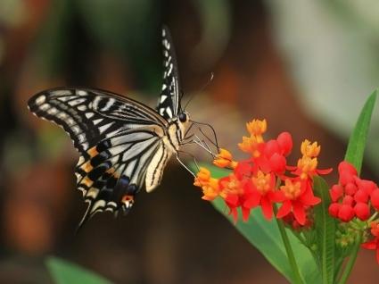 Tiger Swallowtail Wallpaper Butterflies Animals