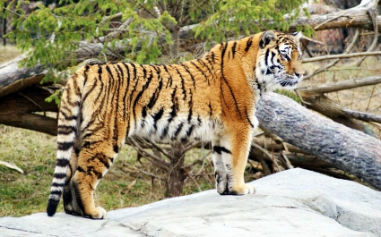 Tiger Widescreen HD Wallpapers in jpg format for free download