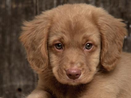 Toller puppy Wallpaper Dogs Animals