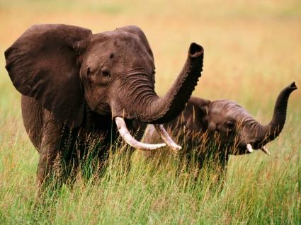 Trunks Up Wallpaper Elephants Animals
