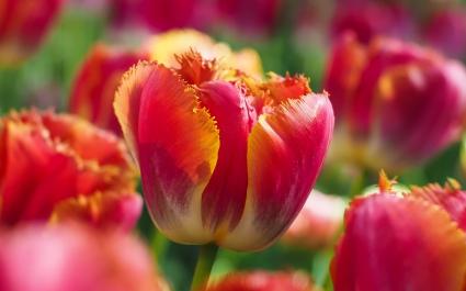 Tulip Flowers 5K