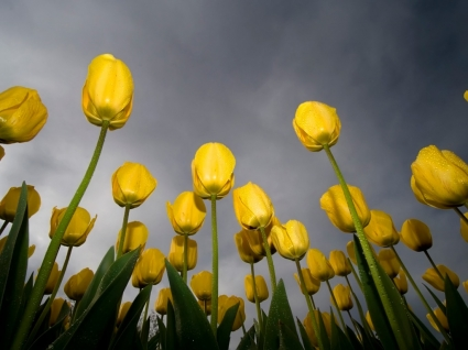 Tulips Wallpaper Flowers Nature