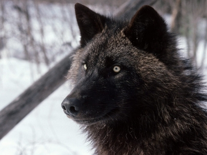 Tundra Wolf Wallpaper Wolves Animals