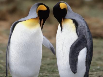 Tuxedo Check King Penguins
